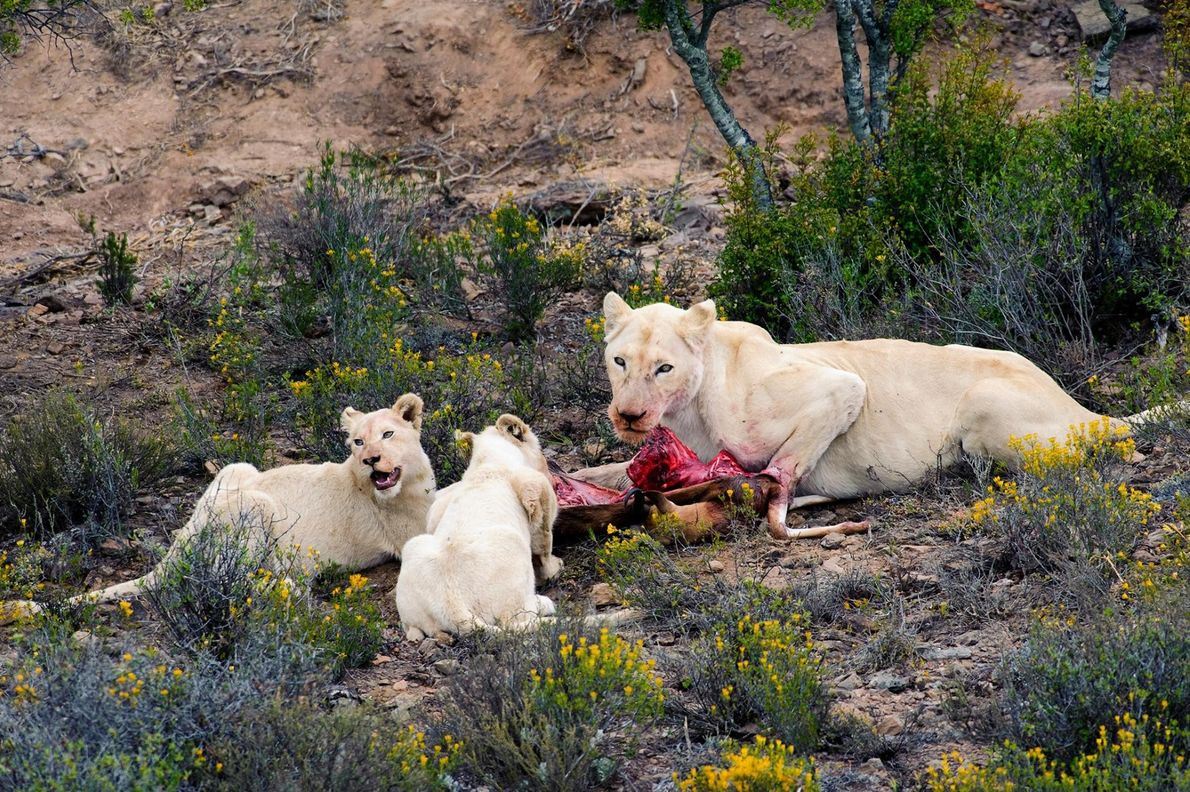 Leones albinos