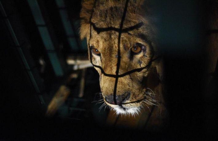 Sayeed es uno de los cinco leones rescatados