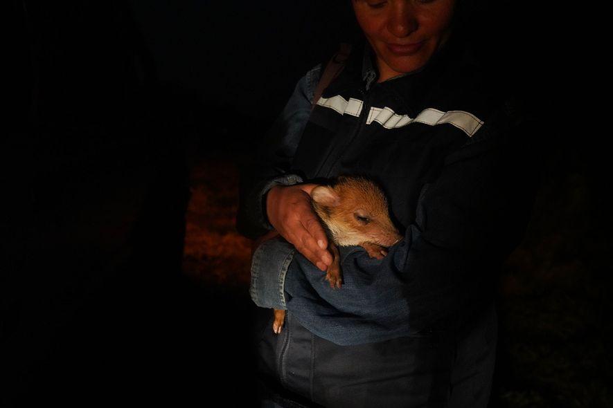 La veterinaria Fabiola Suárez acuna a una cría de pecarí huérfana en el centro de rescate ...