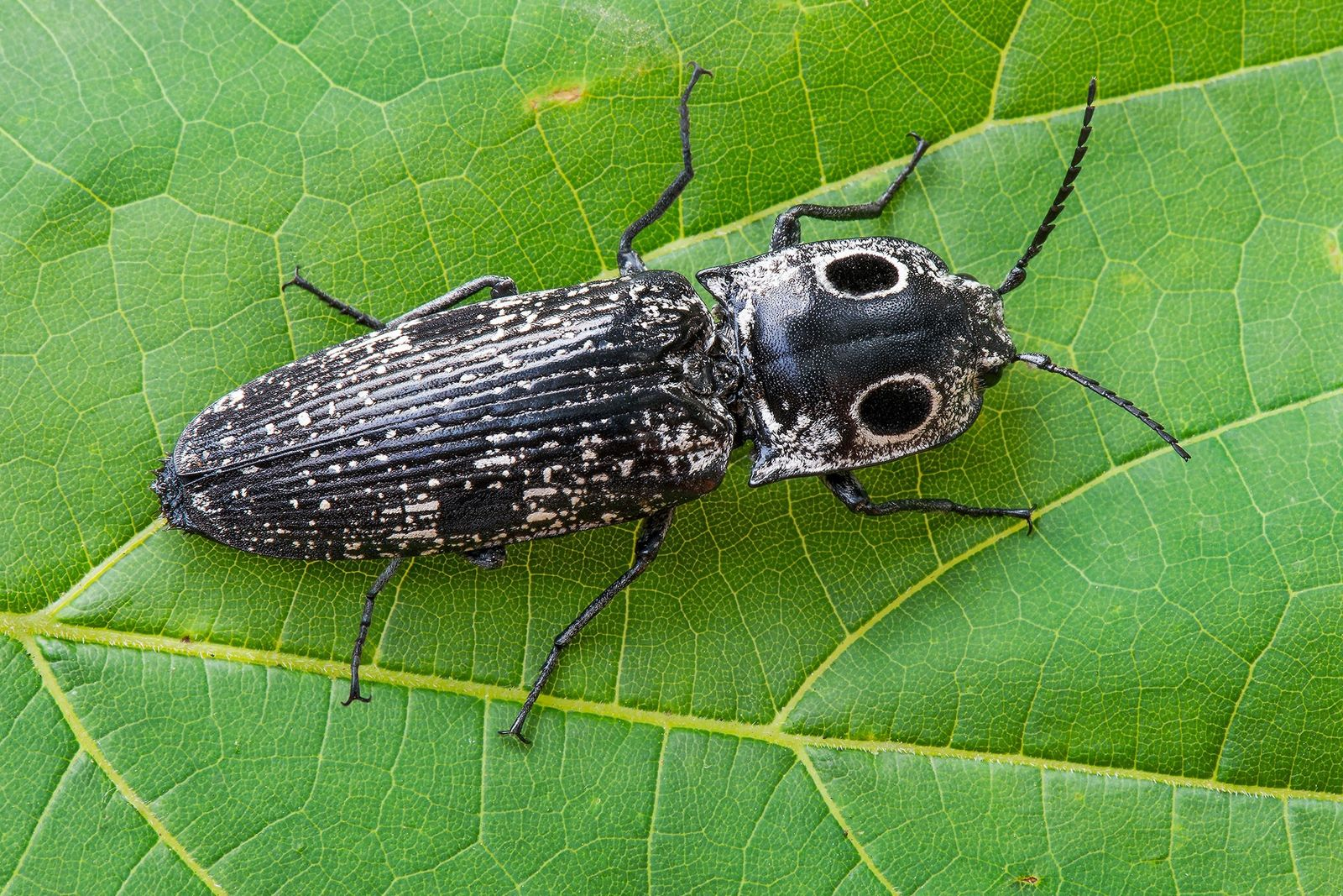 Escarabajo clic