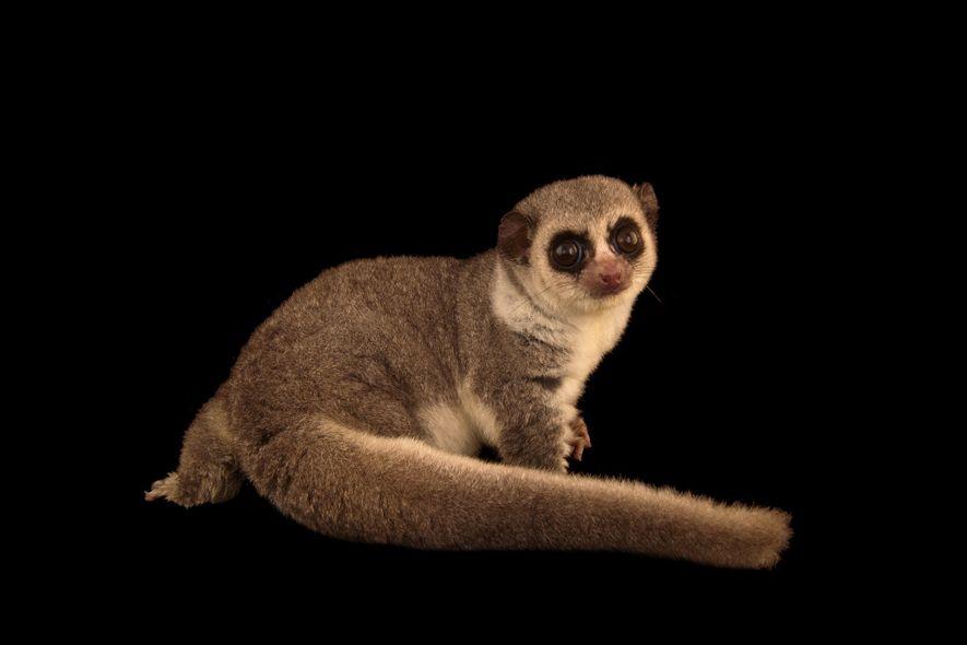 Un lémur enano de cola gruesa muestra su cola en el Duke Lemur Center.