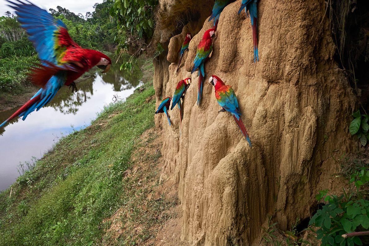 Guacamayos rojos