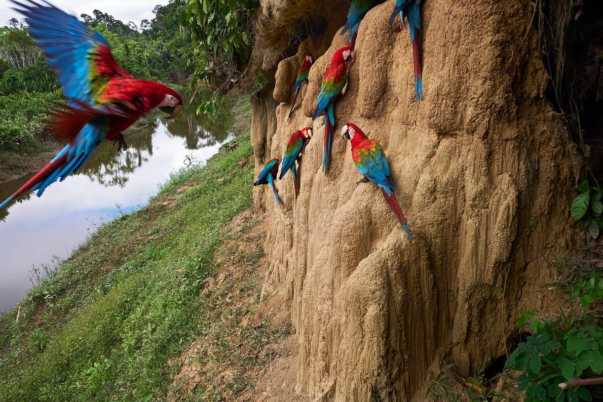 Guacamayos rojos encaramados en acantilados de barro para atiborrarse del lodo rico en minerales. Manu, Perú.