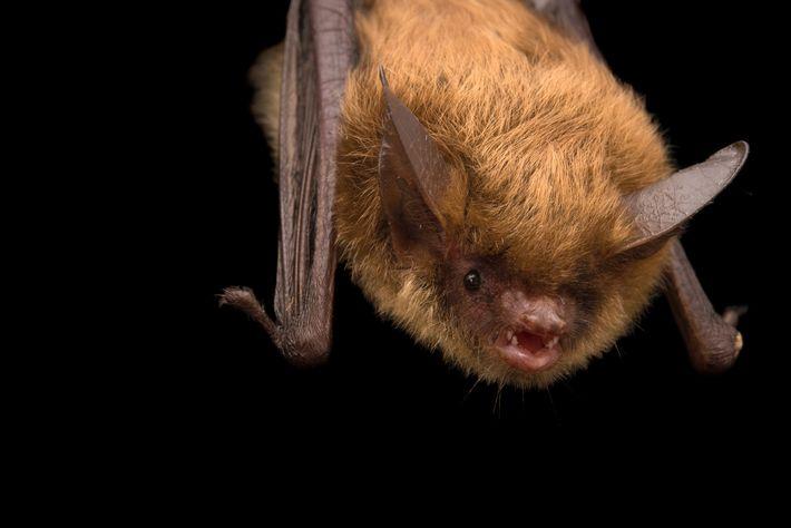 Un murciélago orejudo norteño