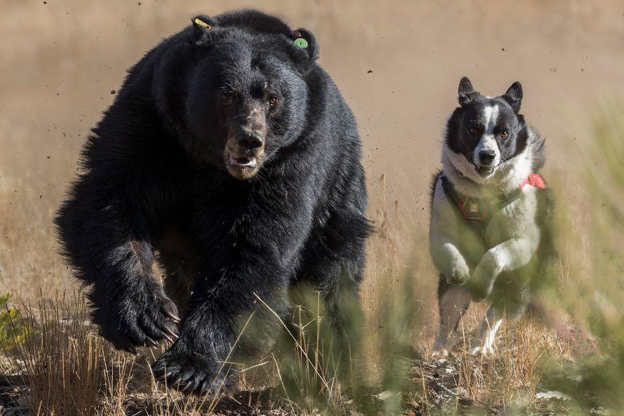 Dazzle persigue a un oso negro en el lago Tahoe. Los osos aprenden a temer a ...