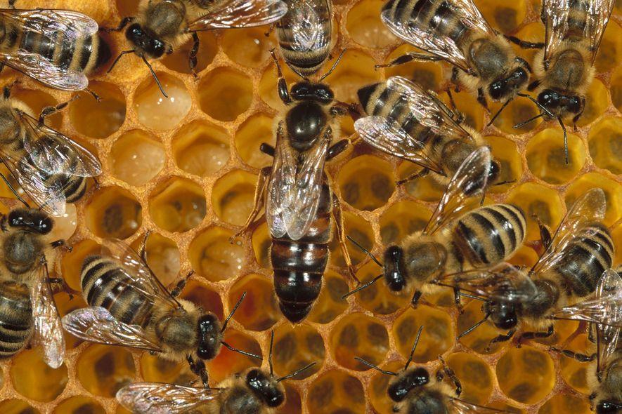 Reina de abeja melífera