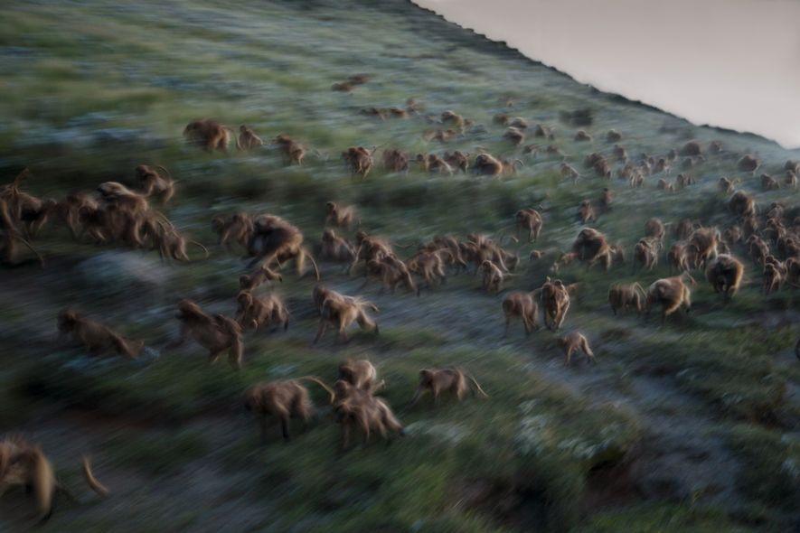 Mientras la oscuridad se cierne sobre Guassa, los geladas corren colina abajo hacia los acantilados donde ...