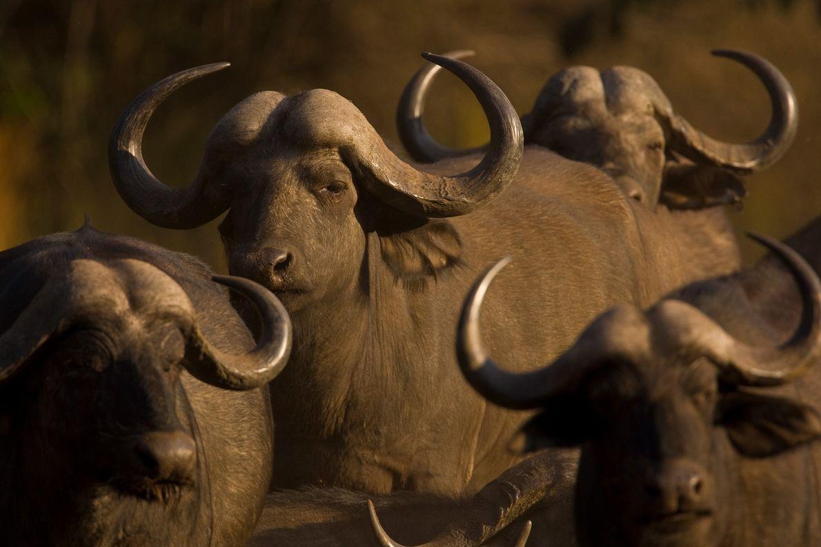 Una manada de búfalos cafres se congrega en el delta del Okavango de Botsuana. Los grandes …