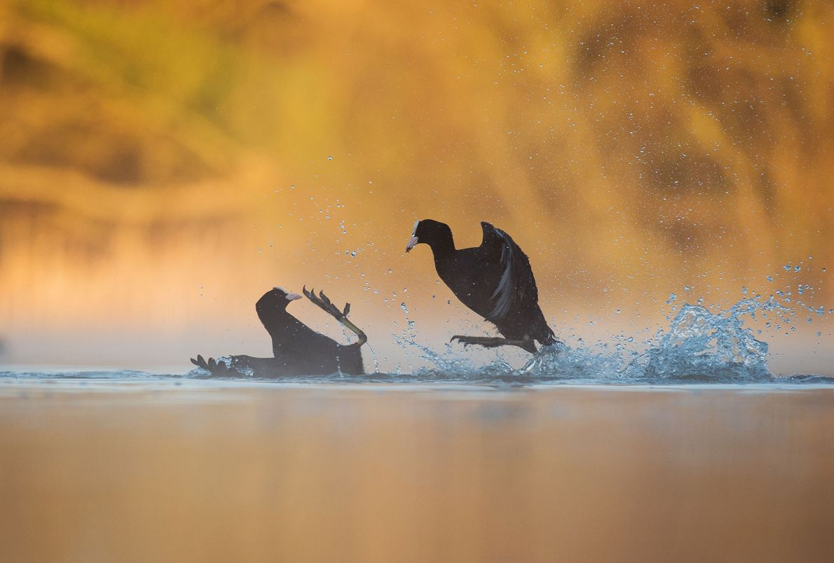 Coots (Fulica atra) fight over territory in Derbyshire, U.K., in this gold award winner for bird ...