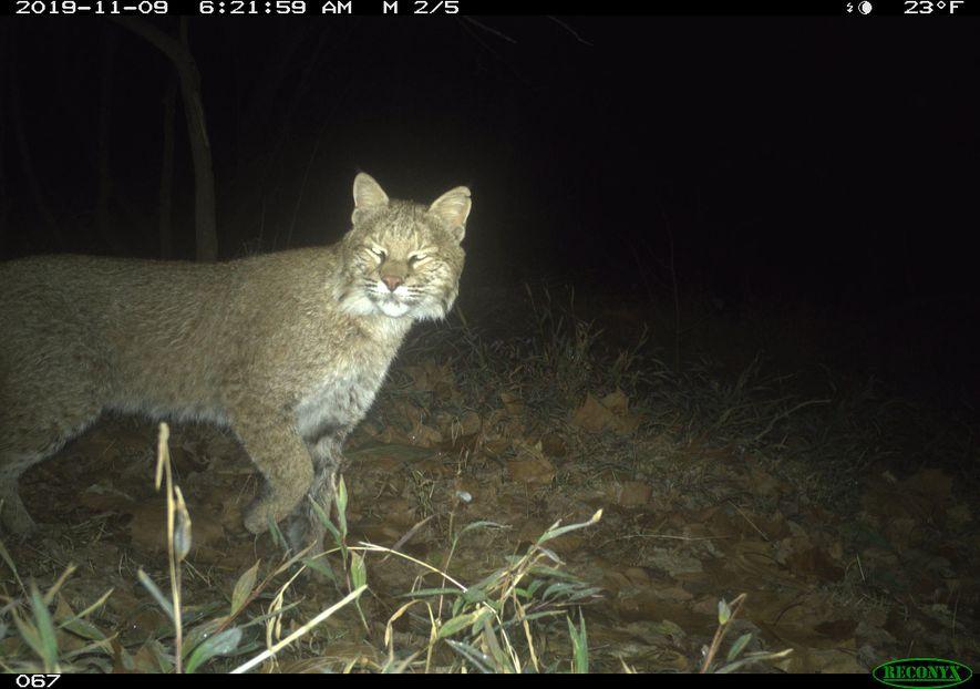 Se trata del primer avistamiento verificado de este animal dentro de la ciudad en la historia ...