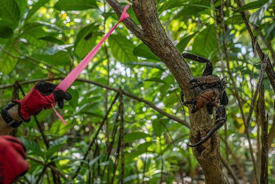 Un investigador etiqueta un árbol de la isla de Nikumaroro con un cangrejo de los cocoteros ...