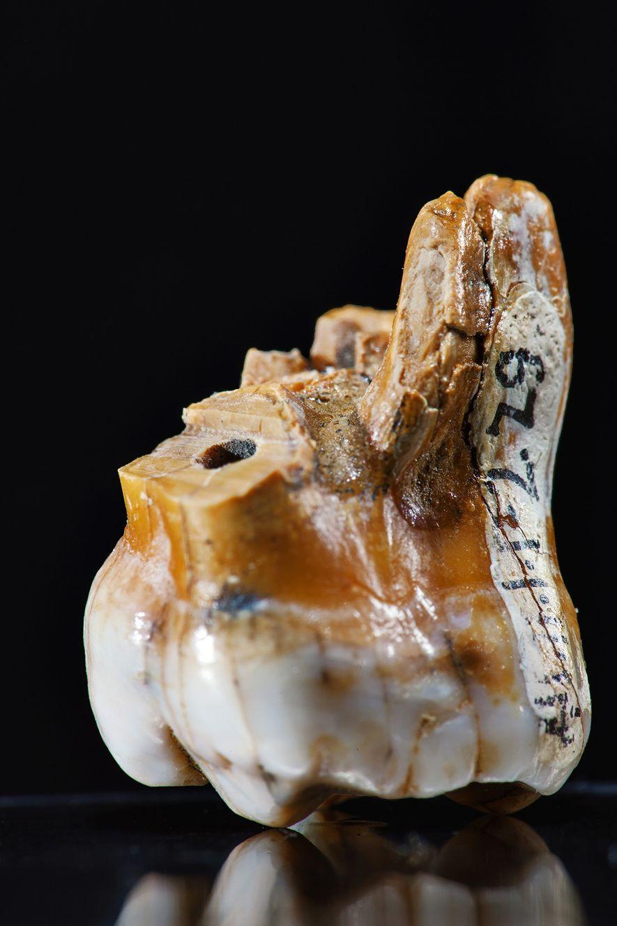 Se conoce la existencia de los denisovanos a partir de unos pocos restos: tres dientes, el hueso de un meñique y un fragmento de cráneo. Uno de sus rasgos definitorios es la sorprendente robustez de sus dientes, como este molar hallado en la cueva de Denisova.