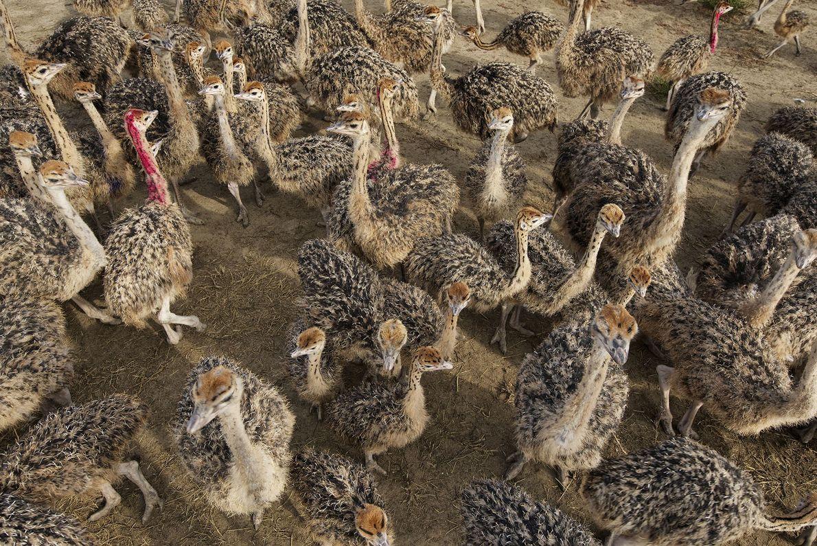 Un gran grupo de avestruces
