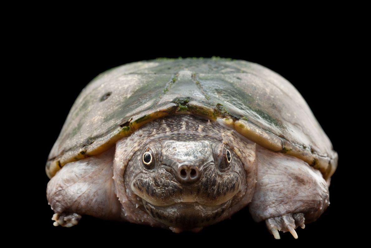 Una tortuga de almizcle aplanada