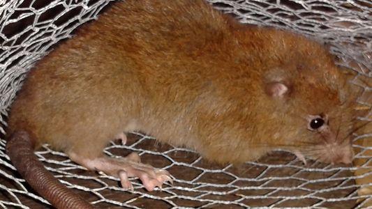 Esta rata gigante es la primera nueva especie de roedor descubierta en las islas Salomón en ...