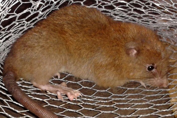 La vika o rata gigante de Vangunu