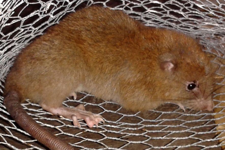 La vika o rata gigante de Vangunu puede pesar hasta 900 gramos y medir hasta 45 ...