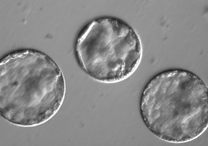 Blastocitos