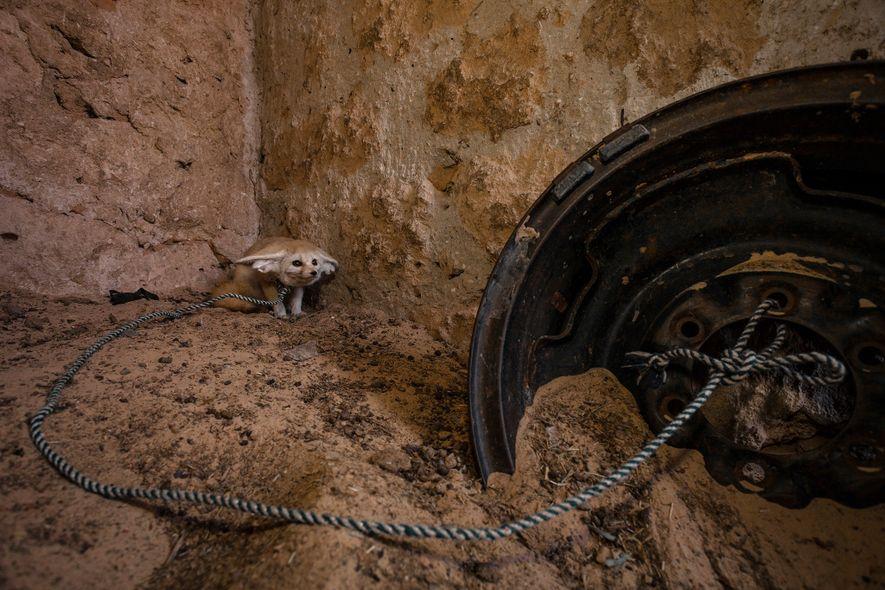 Un zorro del desierto (Vulpes zerda) adulto capturado en la naturaleza y mantenido en cautividad en un corral de cabras de Túnez.
