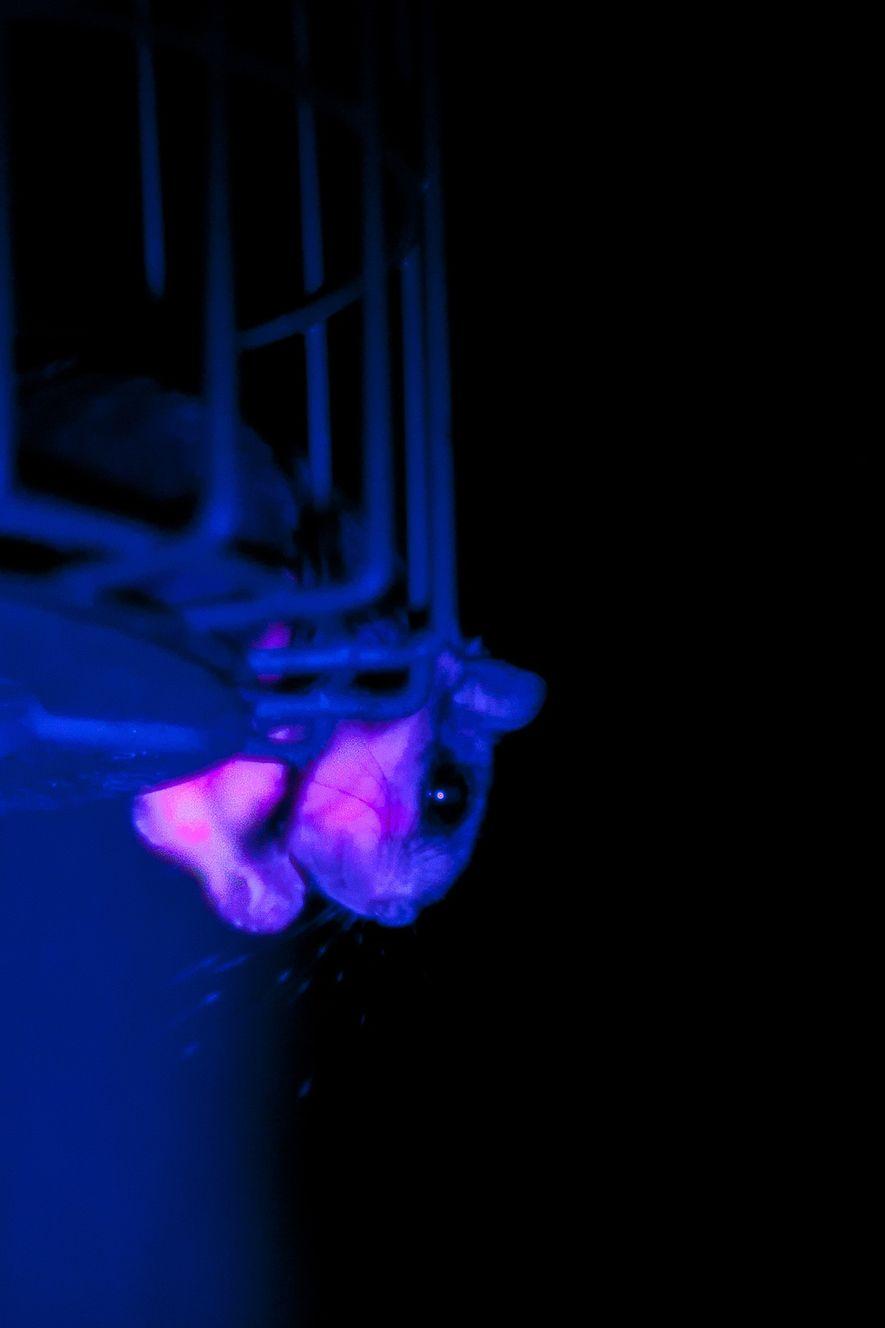 Una ardilla voladora salvaje fotografiada con luz ultravioleta. El pelo de la ardilla voladora brilla con más intensidad en el vientre y la cola del animal.