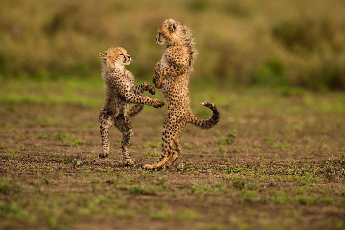 Dos cachorros de guepardo juegan en el parque nacional del Serengueti en Tanzania.