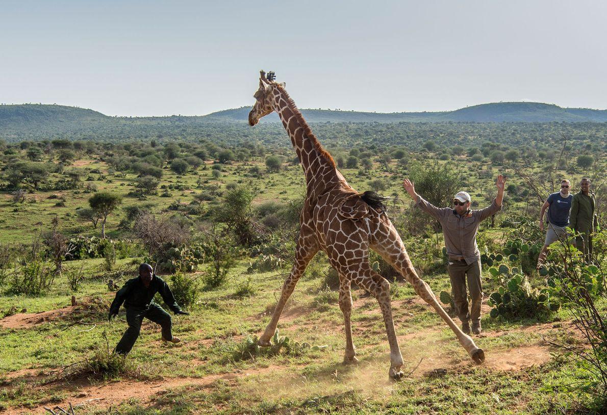 Una jirafa es liberada