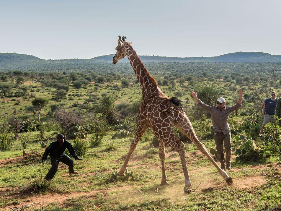 La conservación de las jirafas, un animal en peligro de extinción silenciosa