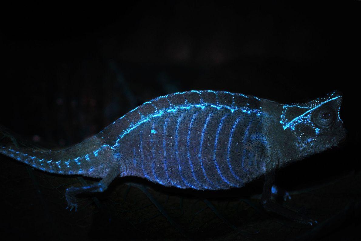Un Brookesia superciliaris fluorescente