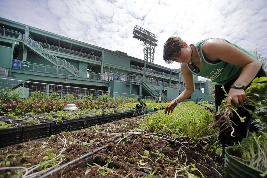Fenway Park, en Boston, cuenta con un proyecto agrícola que suministra al restaurante y a los quioscos del parque. Acelgas, col rizada, berenjena, brócoli y fresas fueron algunos de los cultivos de 2017. «La temporada de béisbol coincide a la perfección con la temporada de cultivo en Nueva Inglaterra», afirma Jessie Banhazl de Green City Growers, que dirige el huerto.