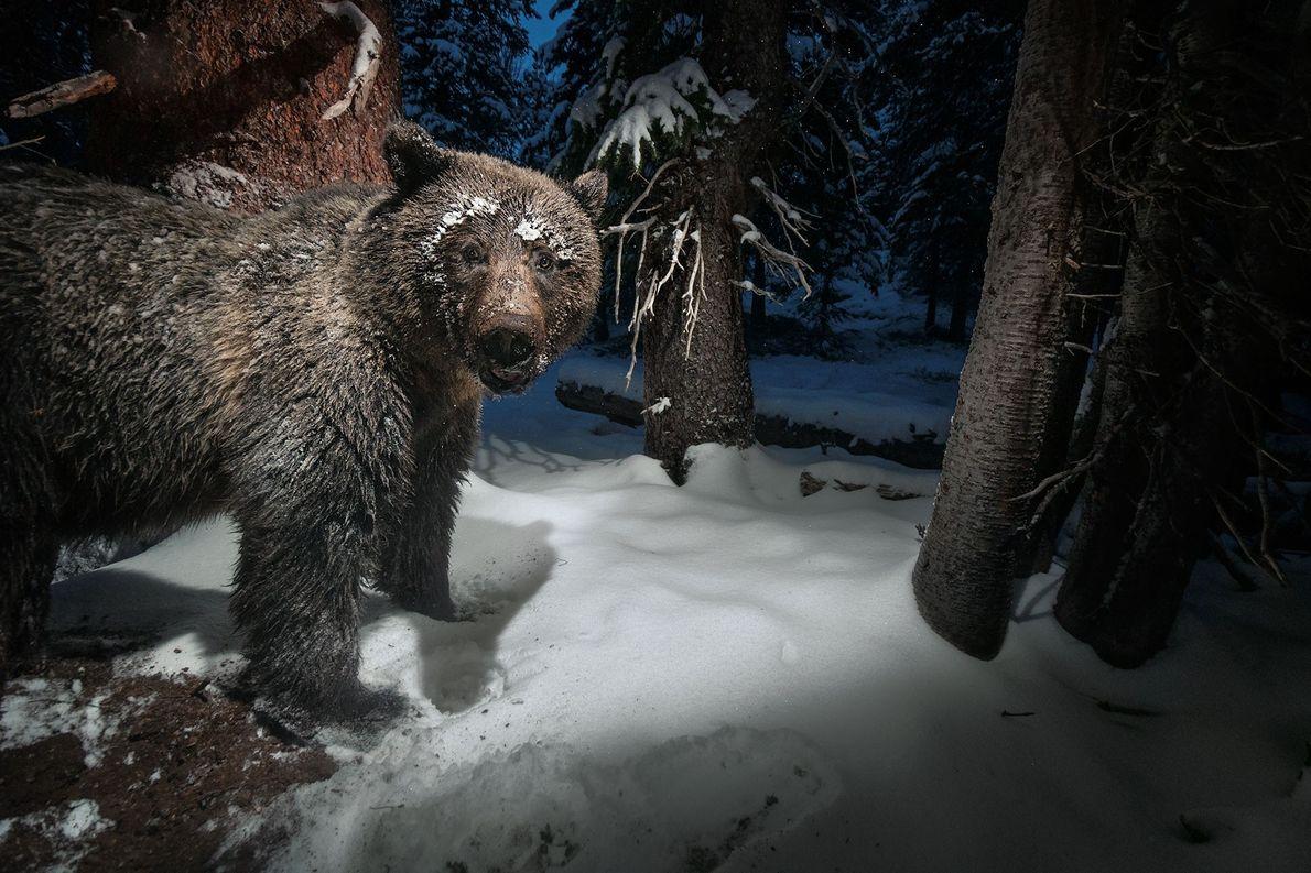 Oso grizzly robando piñas