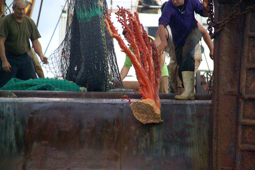El arrastre de fondo es una de las prácticas de pesca más destructivas. Suele arrancar corales ...
