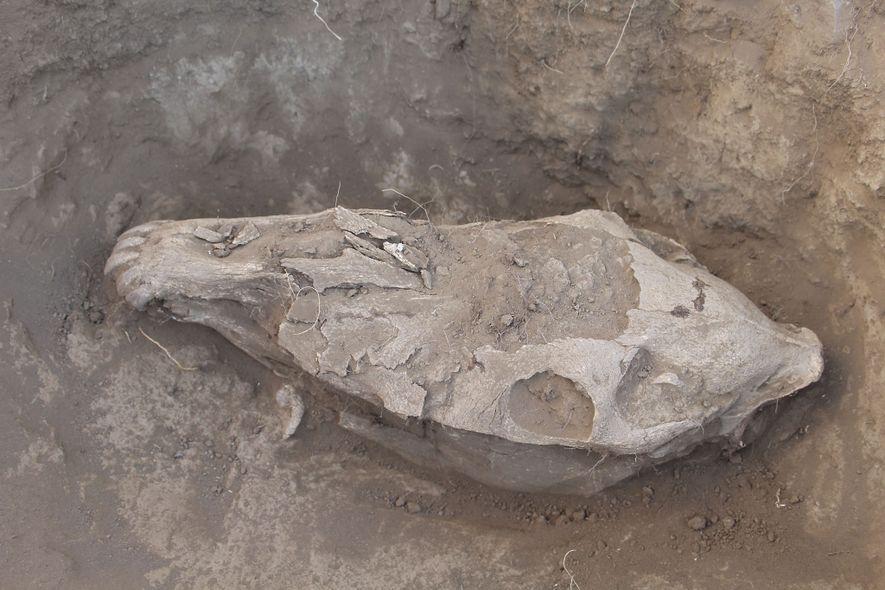 Los investigadores buscan pruebas de modificación y desgaste dental en los cráneos de caballos sacrificados en ...