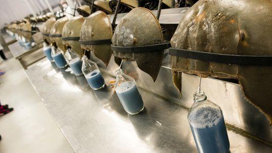 La sangre del cangrejo cacerola es fundamental para crear una vacuna contra la COVID-19, pero el ...