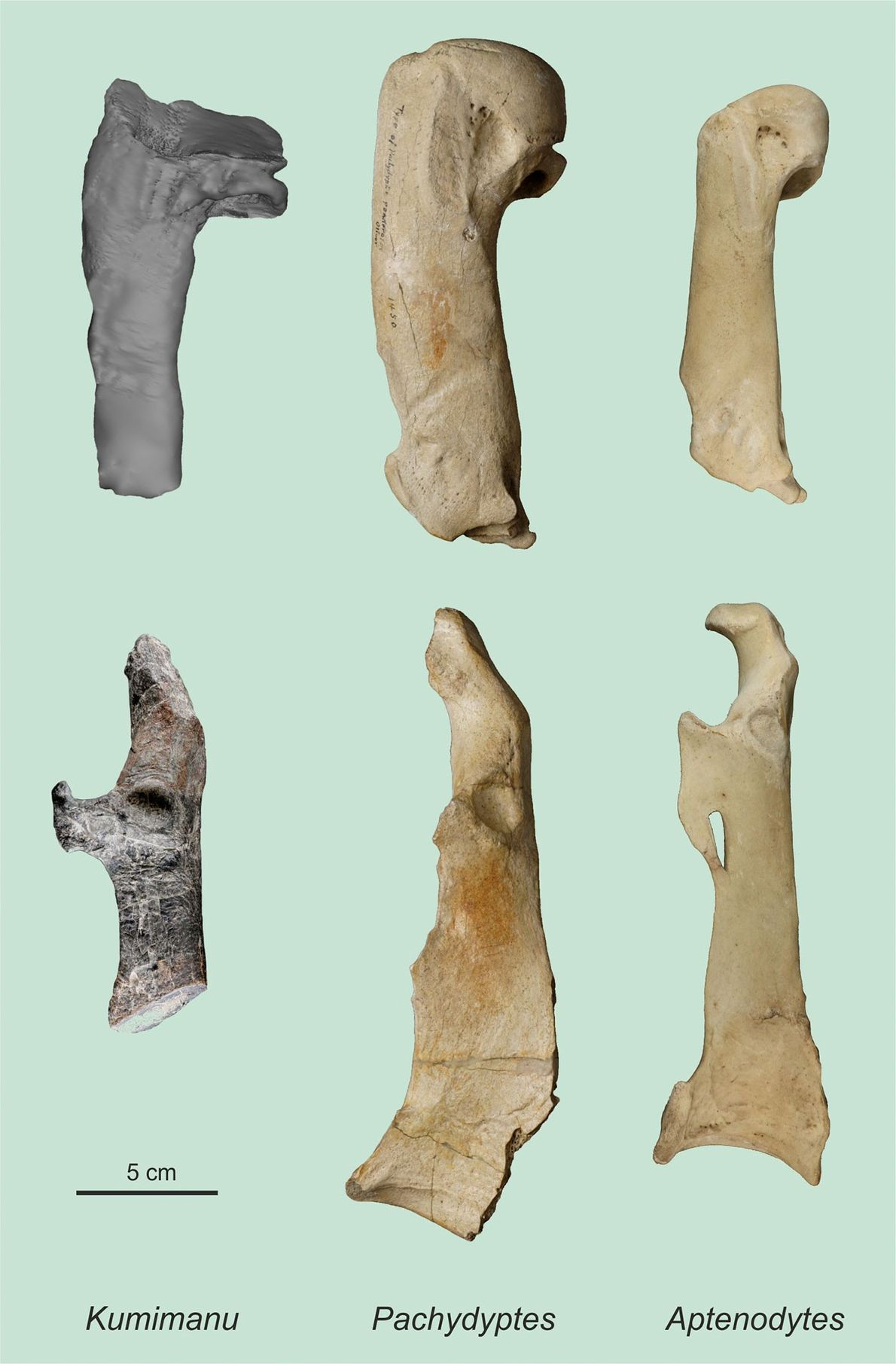 Huesos de pingüino gigante