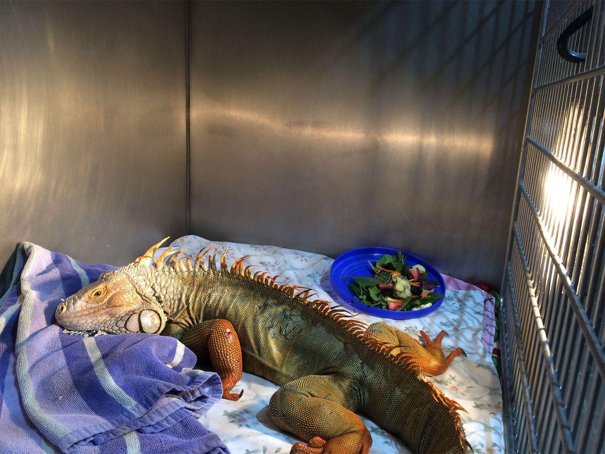 Godzilla, la iguana verde rescatada cerca de Fort Lauderdale, Florida, se recupera junto a una lámpara …