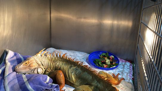La iguana Godzilla