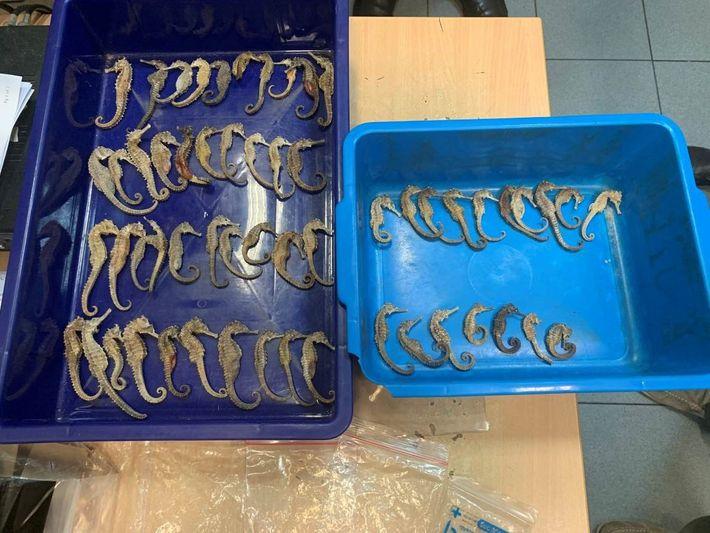 Caballitos de mar deshidratados
