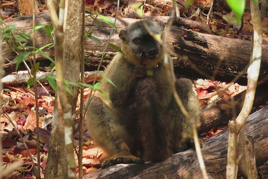 Un lémur pardo de frente roja mastica un milpiés gigante, con la cola visiblemente húmeda con ...
