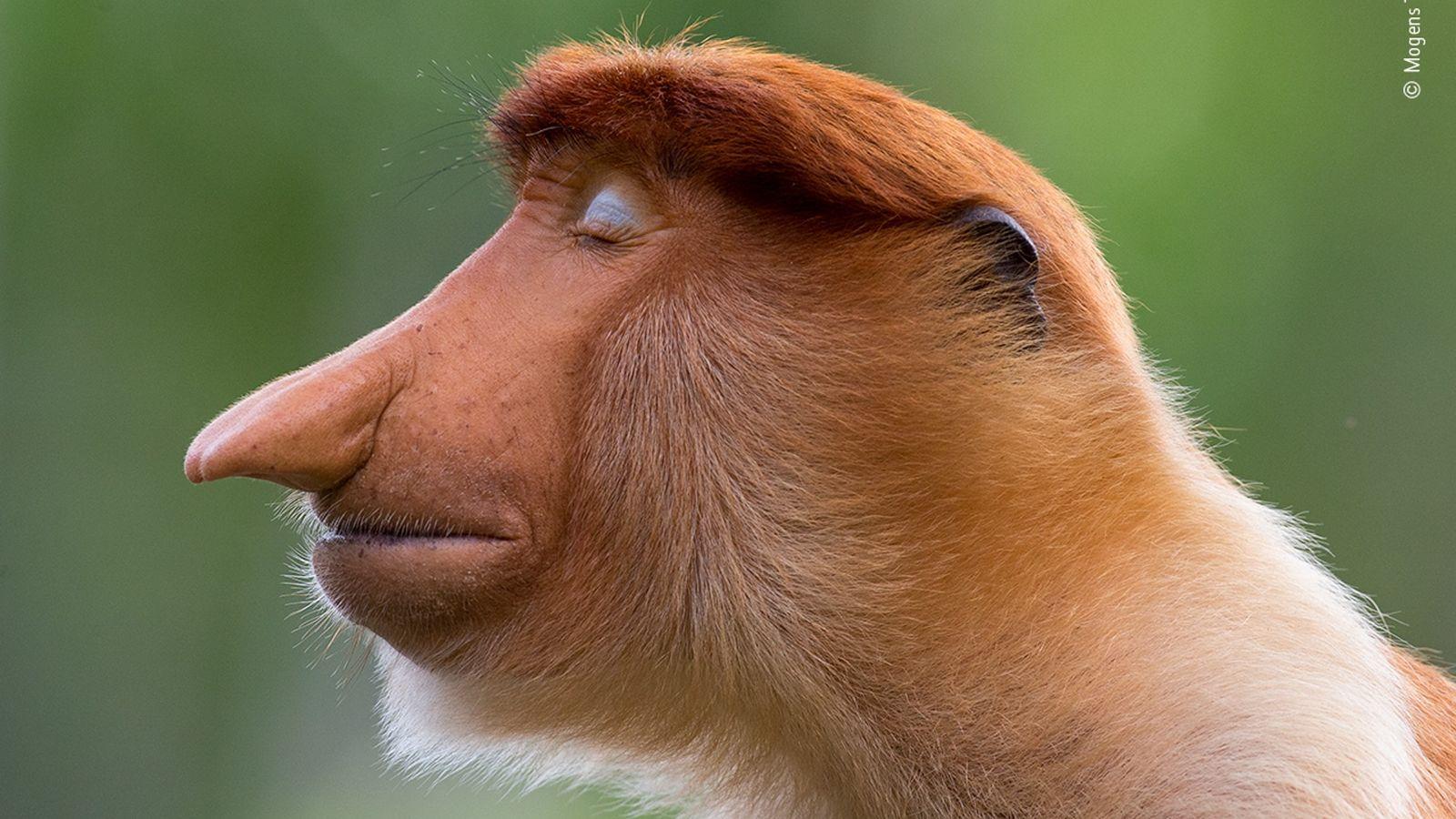 Un joven mono narigudo macho