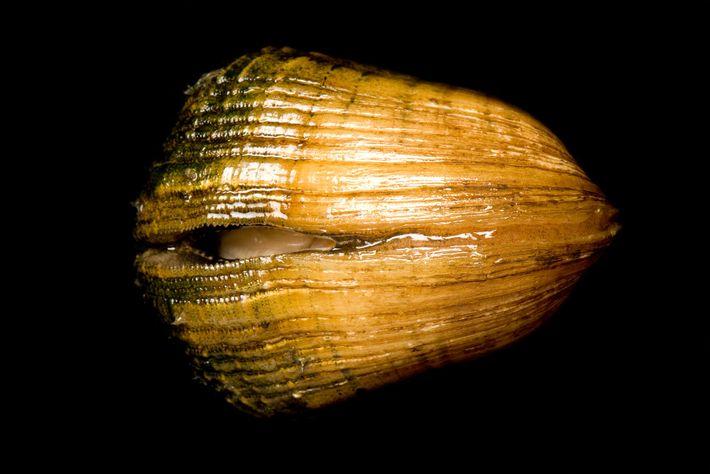 Epioblasma triquetra