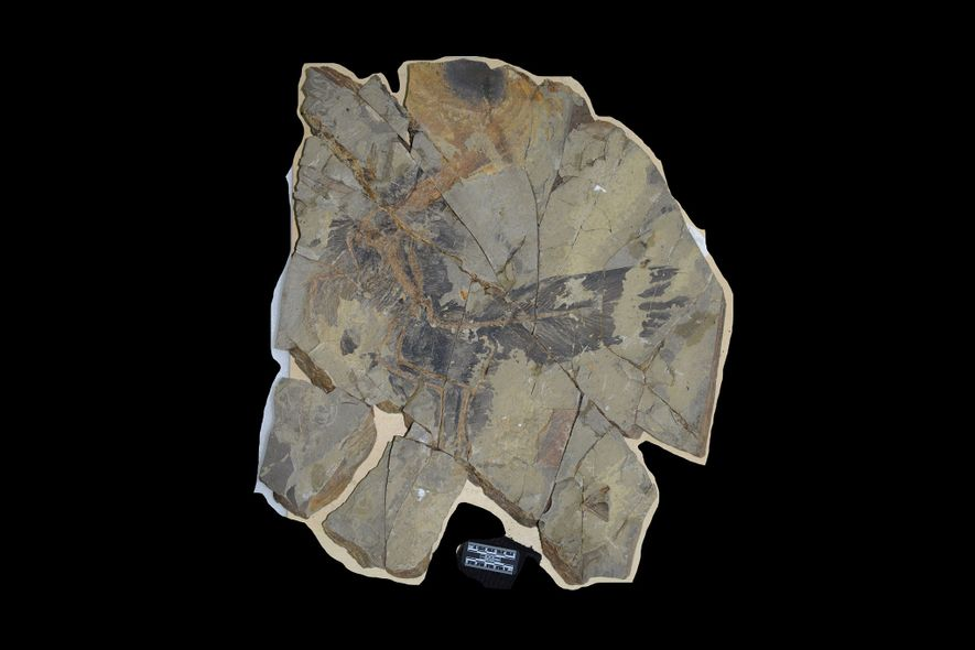 La losa de piedra que contiene al Caihong juji. Las condiciones excepcionales han permitido que las plumas del dinosaurio se fosilizasen junto con sus huesos.