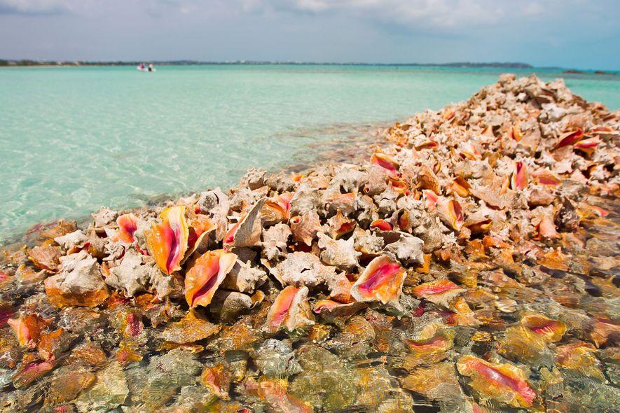 Montones de conchas son abandonadas por quienes las pescan solo para capturar al caracol. La carne ...