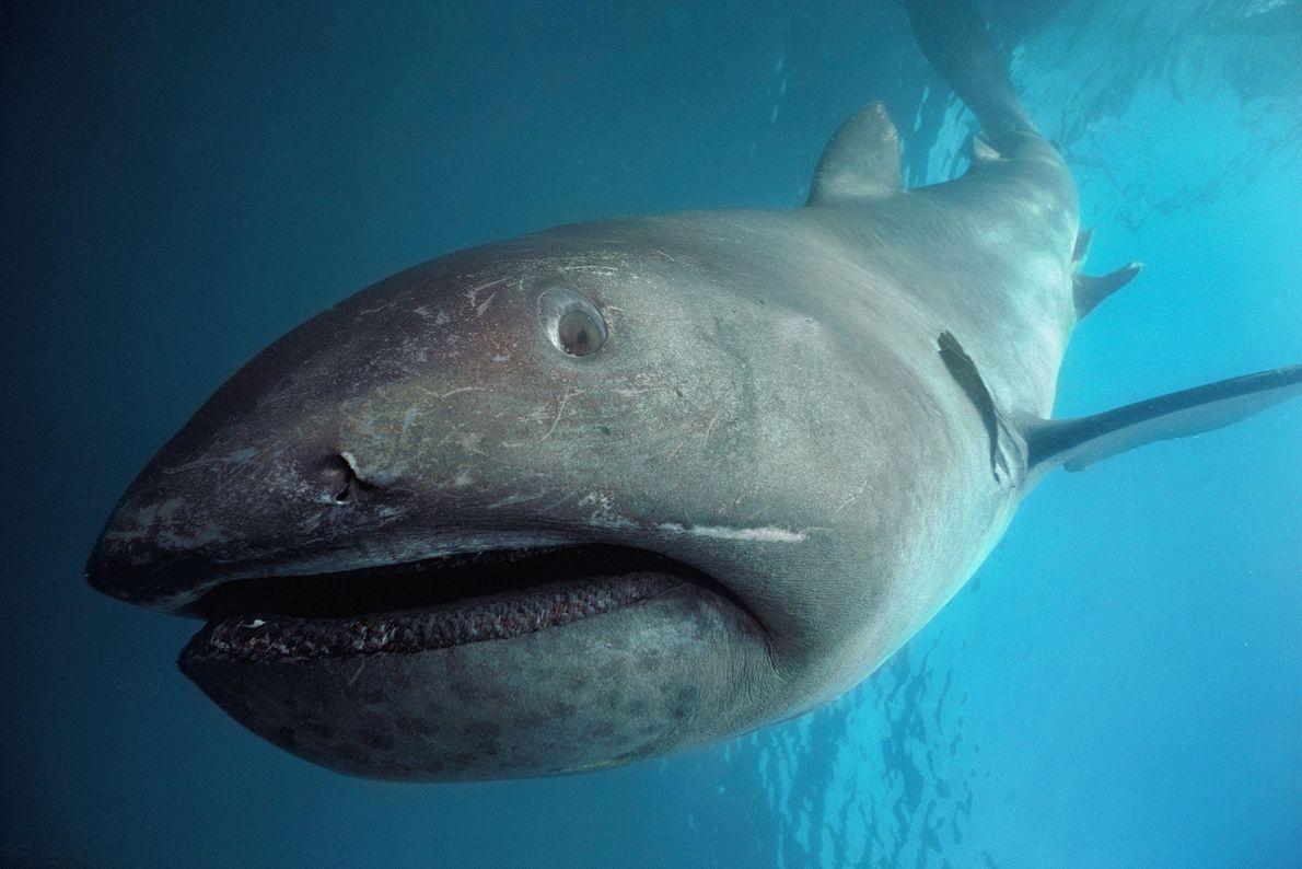 Tiburón boquiancho