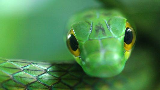 Las serpientes tropicales desaparecen conforme el hongo quítrido diezma a sus presas