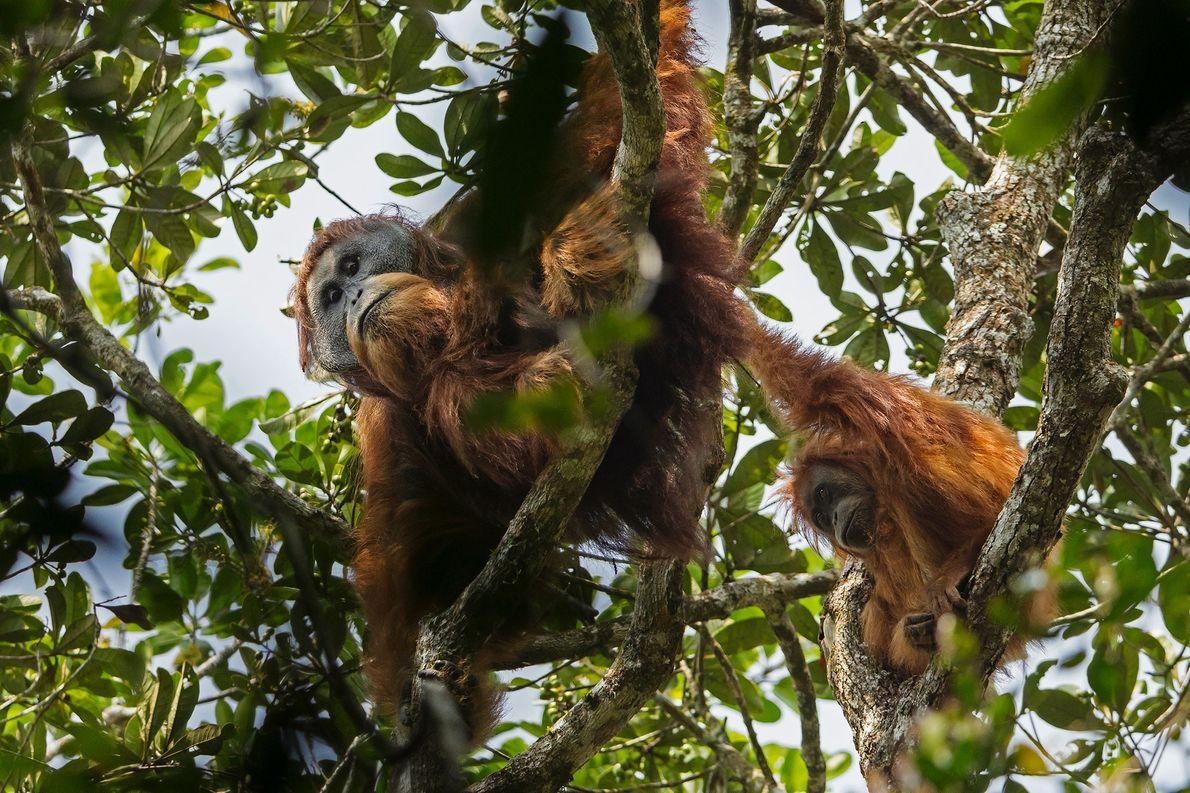 Los orangutanes de Tapanuli viven en una selva aislada en las montañas de Sumatra.