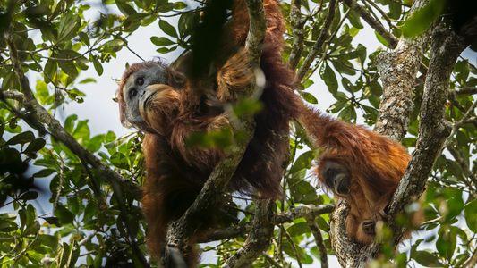 El orangután de Tapanuli, una nueva especie