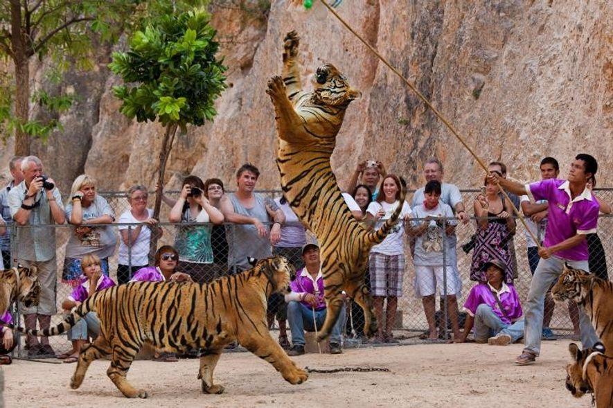 Los centros de tigres cautivos de Tailandia que han sido acusados de comerciar ilegalmente con los ...