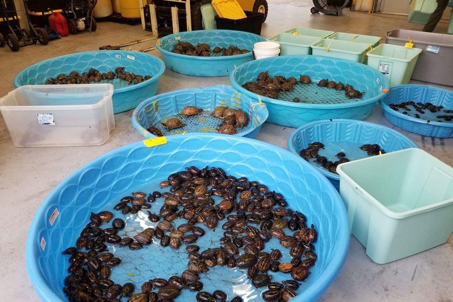 Las fuerzas del orden de Florida incautaron hace poco cientos de tortugas silvestres a supuestos traficantes de tortugas. En el botín había tortugas de pantano rayadas (en la piscina de delante), tortugas de pantano del este y varias tortugas de caja. Muchas de ellas estaban lo bastante sanas como para ser puestas en libertad.
