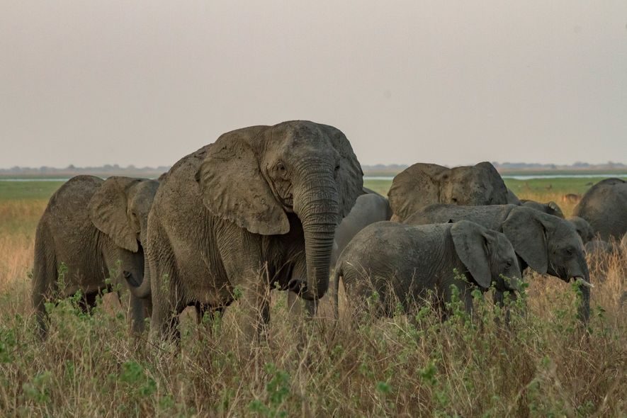 Elefante sin colmillos