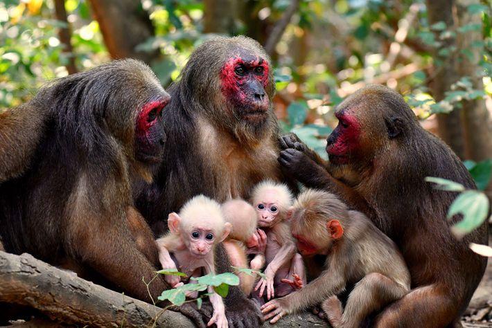 Macacos rabones